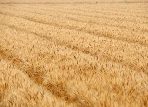 九州の小麦畑